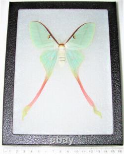 Actias dubernardi pink green saturn moth female China RARE framed