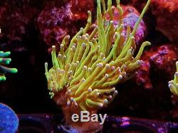 Coral Frag Pink Tip Neon Green Torch LPS Hammer Frog Spawn Type