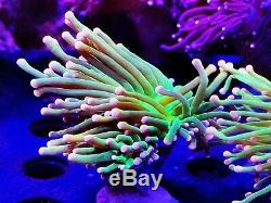 Coral Frag Ultra Pink Tip Torch Neon Green Skin LPS Euphyllia Hammer Frog Spawn