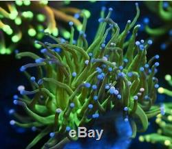 WYSIWYG Blue & Pink Tip Green Joker Torch Live Coral LPS THE REEF ISLAND OF NY