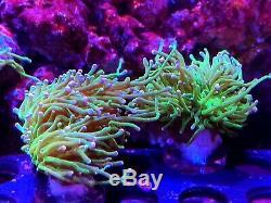 Corail Frag Rose Astuce Neon Torch Vert Lps Marteau Frog Spawn Type De