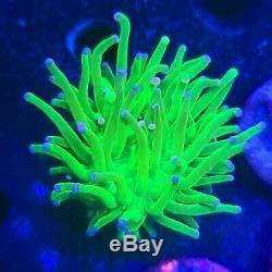 Wysiwyg Bleu Et Rose Astuce Vert Joker Torch En Direct Coral Lps Reef Isl Zoa Sps